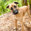 Tall Shepherd Mix Dog Staring — Stock Photo