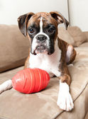 Boxer Puppy playing with Toy — Foto de Stock
