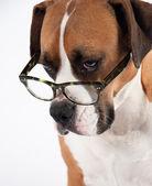 Smart Looking Dog Wearing Green Tortoise Shell Glasses — Stock Photo