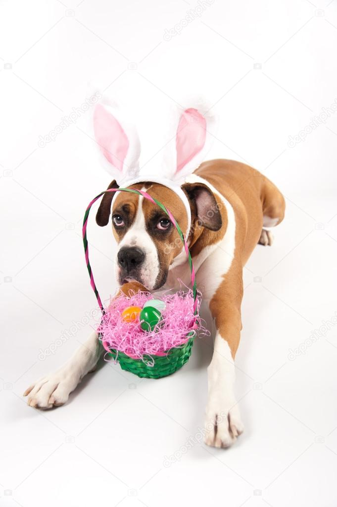 boxer easter themed spring easter bunny boxers dog breed ...  Boxer Dogs With Bunnies