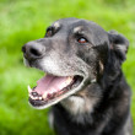 Happy German Shepherd Hound Mix Enjoying Lush Green Grass in Park — Stock Photo #29080677