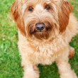 Cute Labradoodle Dog — Stock Photo