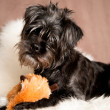 Cute Black Affenpinscher  — Stock Photo