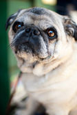 Light Colored Pug Sitting on Chair in Cafe Enjoying Nice Weather — Stock Photo