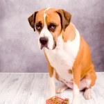 Beautiful Dark Fawn Boxer Dog — Stock Photo