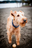 Irish Terrier Dog — Stock Photo
