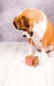 Beautiful Dark Fawn Boxer Dog — Stock Photo
