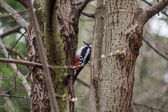 Woodpecker in the trees — Stock Photo