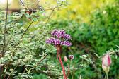 Badan. Bergenia fleurs. — Photo