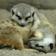 Sleeping meerkats — Stock Photo