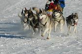 Dog sledding — Stock Photo