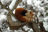 Red panda on a branch — ストック写真