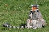 Lemur with a leaf — Stock Photo