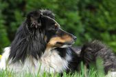 Sheltie lying in the grass — Stock Photo