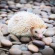 Hedgehog on stack of rock — Stock Photo