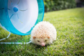 Hedgehog with a blue wheel in a park — Stock Photo