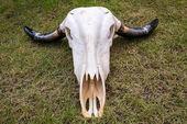 Buffalo skull on grass floor — Stock Photo