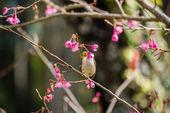 Bledá tvář pták na rozkvetlou třešní a sakura — Stock fotografie