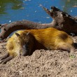 Stock Photo: Capybara