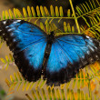 Morpho butterfly — Stock Photo #29692821