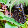 Morpho butterfly — Stock Photo #29692875