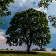 Stock Photo: Big tree in summer time