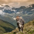 Alpine cow in Sellrein area — Stock Photo