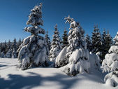 Spruce forest in winter time — Stock Photo