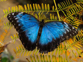 Morpho butterfly — Stock Photo