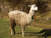 Llama portrait — Stock Photo