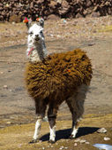 Llama - typical and funny south american mammal — Stock Photo