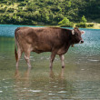 Bathing cow — Foto Stock
