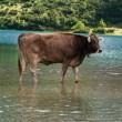 Bathing cow — Stockfoto