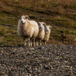 Sheep triple — Stock Photo
