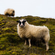 Stock Photo: Sheep on hillside