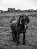 Icelandic horse — Stock Photo