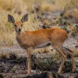 Kirk's dik-dik (Madoqua kirkii) — Stock Photo