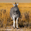 Front view of zebra — Stock Photo