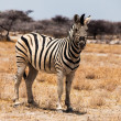 Stock Photo: Beautiful zebra