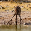 Thirsty giraffe drinking from waterhole — Foto Stock
