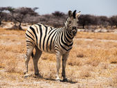 Beautiful zebra — Stock Photo