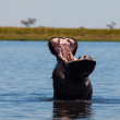 Hippo in Chobe River — Stock Photo