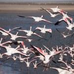 Flamingos are flying away — Stock Photo