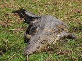 Lazy Nile crocodile — Stock Photo