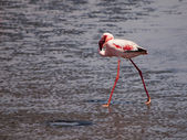 Lesser flamingo walks in shallow water — Stock Photo