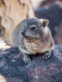 Dassie rat (Petromus typicus) — Stock Photo