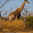 Giraffe in savanna — Stock Photo