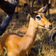 Young female impala — Stock Photo