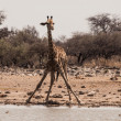 Stock Photo: Thirsty giraffe drinking from waterhole