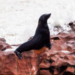 Brown Fur Seal (Arctocephalus pusillus) — Stock Photo #36552343